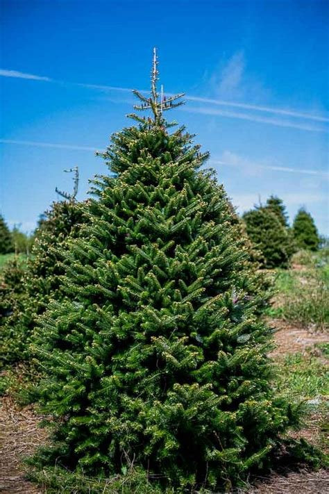 hich christmas tree smells the best which tree smells the best lasts the and doesn t drop its needles wales