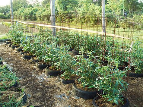 How to Care for Tomato Plants in Tires   Countryside Network