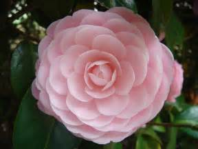 file flower from japan jpg wikipedia