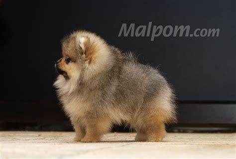 spell pomeranian pomeranian photo of pomeranian puppies from malpom gamekeeper x malpom magic spell