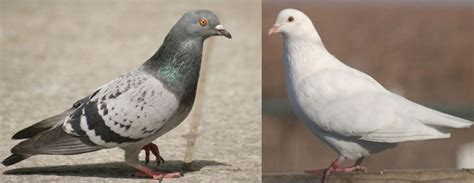 doves vs pigeons a symbol of good vs evil the olympians