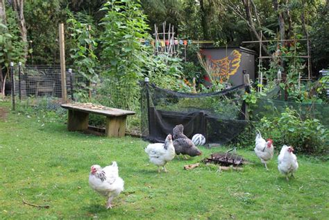 Chicken Garden by Chicken Friendly Gardens Pod Easy Edible Gardening