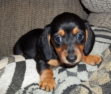 dachshund puppies for sale florida pin teacup dachshund puppies for sale in florida on
