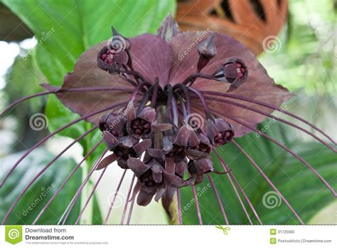 fiore pipistrello fiore pipistrello fotografia stock immagine di