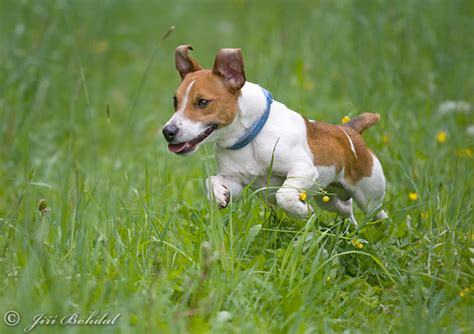 imagenes of jack russell jack russell terrier photos jack russell terrier images