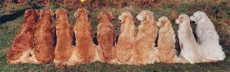 golden retriever colour range australian golden retriever breeders
