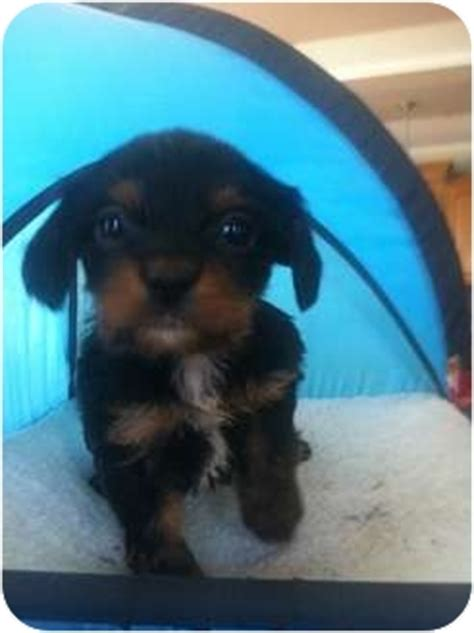 king charles yorkie mix nick adopted puppy lonedell mo cavalier king charles spaniel yorkie