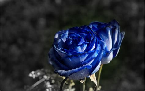 free wallpaper blue roses blue roses hd wallpapers free download