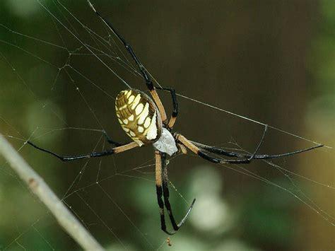 Garden Spider Behavior by Black And Yellow Garden Spider Mccommas Dfw Wildlife