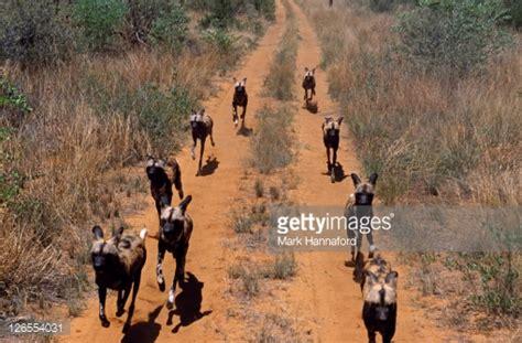 desert pack namibia kalahari desert pack of dogs running