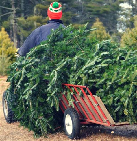 christmas tree farm photography ct tree farms opening this week statewide the middletown press