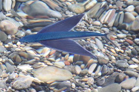 pesci volanti mediterraneo exocoetidae