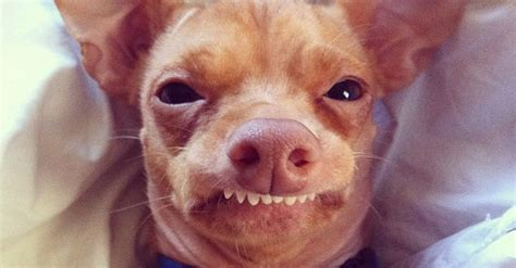 Dog Teeth Meme - meet tuna the chiweenie instagram s cutest dog with an