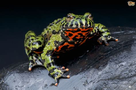 Choosing and caring for a Fire Belly Toad | Pets4Homes