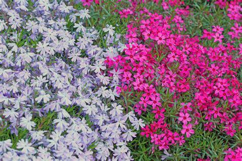 winterharte stauden niedrig winterharte pflanzen als rasenersatz 187 welche eignen sich