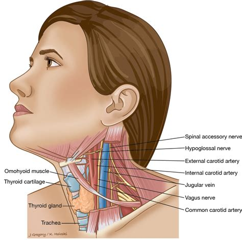 neck glands diagram throat anatomy glands human anatomy diagram