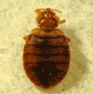 full grown bed bug bed bug photos