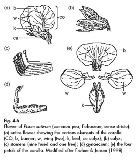floral diagram of fabaceae family image gallery leguminosae family