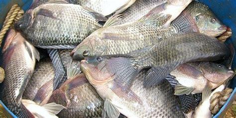 manfaat  khasiat ikan mujair  kesehatan