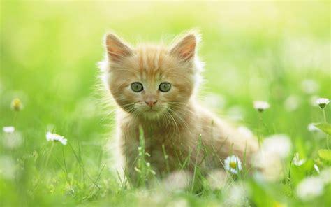 wallpaper iphone cat cute cute kitten wallpapers hd wallpapers id 8640