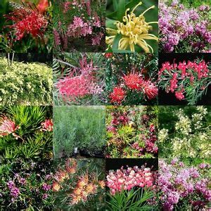 australian flowering shrub australian barmac pty ltd