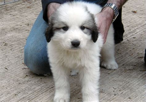 pyrenean mountain puppies pyrenean mountain puppies for sale uk