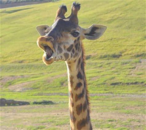 Meme Giraffe - giraffe meme