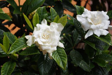 gardenia  blooming   garden  bloom