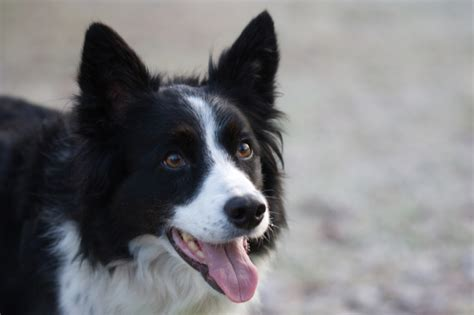 collie puppies 11 bright facts about border collies mental floss