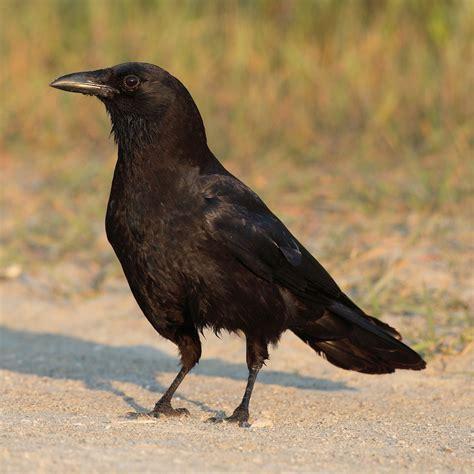 american crow wikiwand
