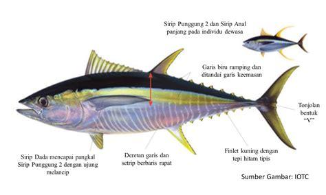 Lu Celup Ikan by Mahalnya Ikan Tuna Sirip Kuning Seharga Alphard Dunia