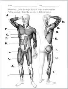 muscular system human body