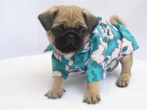 pajamas for pugs bedtime at o clock animals in pajamas hop to pop