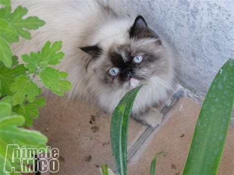 accoppiamento gatti persiani accoppiamento persiano da privato a gatti persiano