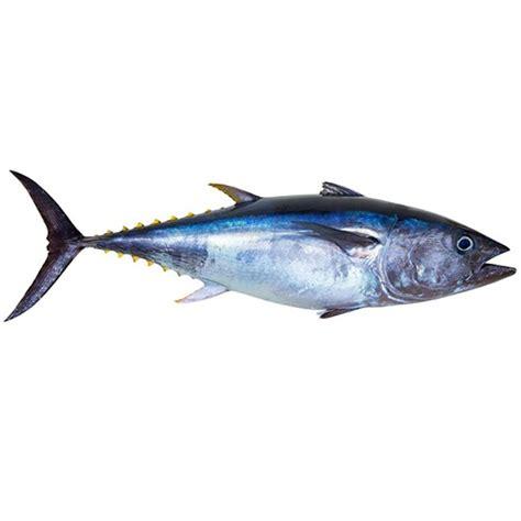 Fish Tuna Loin bluefin tuna loin cut responsibly in gulf of maine
