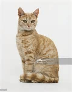 tabby cat sitting up facing forward stock photo