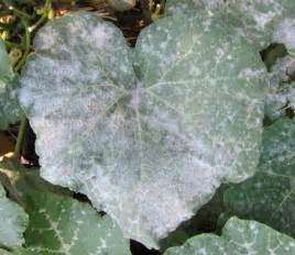 Zucchini Plant Diseases Powdery Mildew - zucchini and cucumber plants dying at same time helpfulgardener com