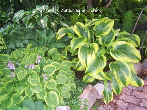 growing hosta sensible gardening and living