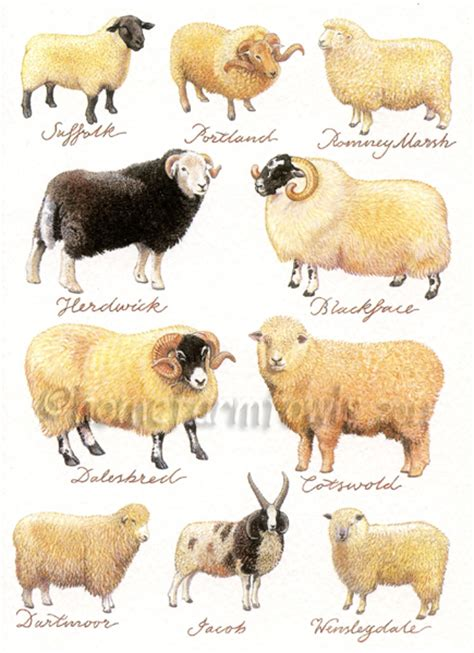 Sheep Home Decor by Sheep Breeds On Pinterest