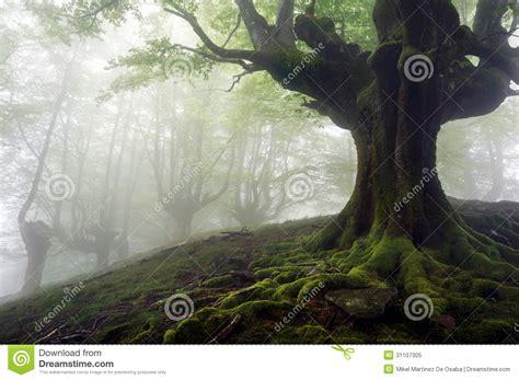imagenes goticas misteriosas floresta nevoenta com 225 rvores misteriosas foto de stock