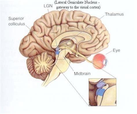 bagian bagian otak manusia beserta fungsinya