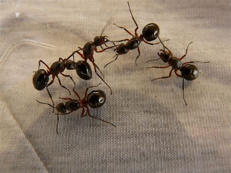come liberarsi dalle formiche in cucina come liberarsi delle formiche in casa