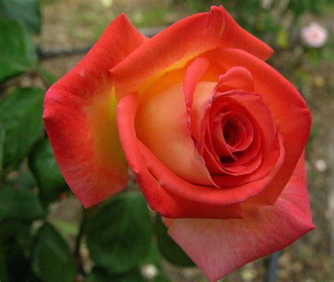 orange rose pictures www pixshark com images galleries