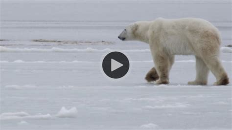 the polar bear explorers country photos national geographic autos post