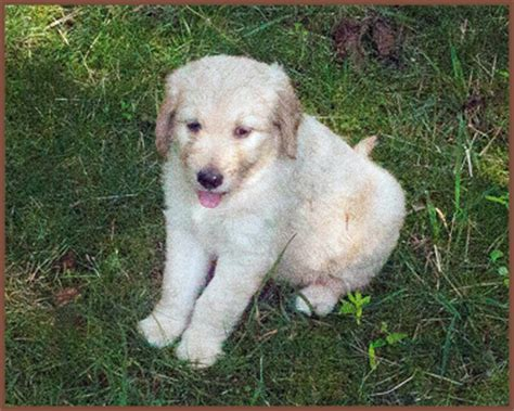 golden retriever rescue buffalo ny goldendoodle for western ny breeds picture