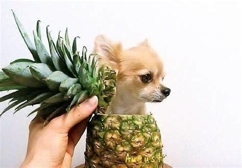 is pineapple for dogs can dogs eat pineapples health benefits side effects tips