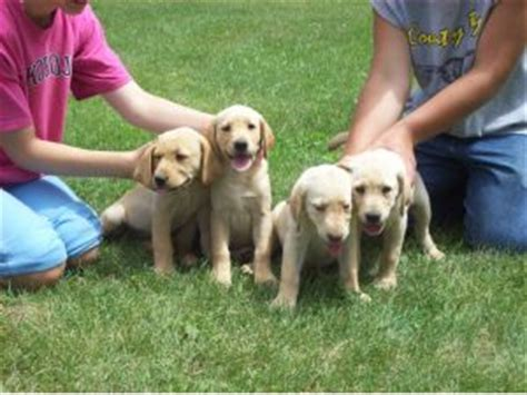 chocolate lab puppies for sale in iowa labrador retriever puppies in iowa