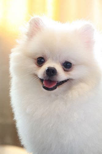 pomeranian bark collar 17 best images about my poms pomeranian s on poof snowball and teacup