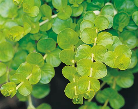 your guide to creeping jenny sunset