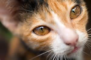 what color are cats 7 cool facts about cat eye colors catster